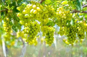 The many benefits of white grape juice